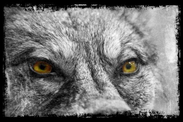 Les yeux de notre meute...