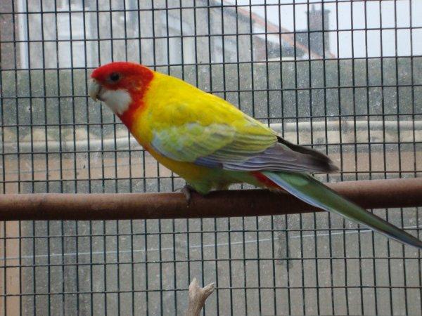Omnicolore dos doré (mâle)