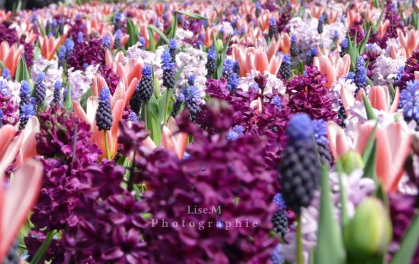 *Fleurs - Parc Keukenhof en Hollande.
