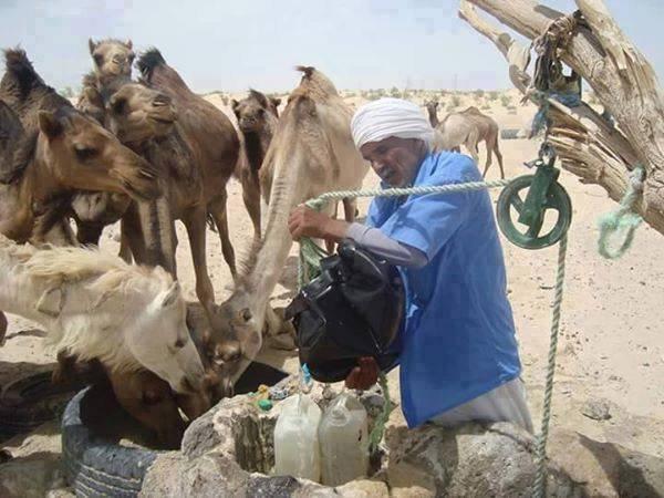 les chameaux boirent  l eau de puit
