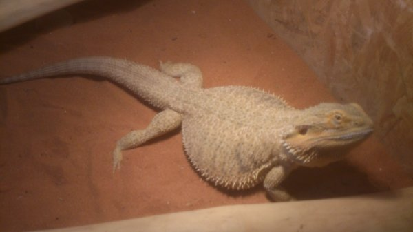 pogona femelle yellow orange
