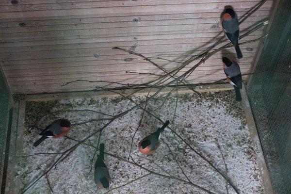 Goudvinken zijn verzot op boomknoppen/boubreuils adorent manger les bourgeons des arbres