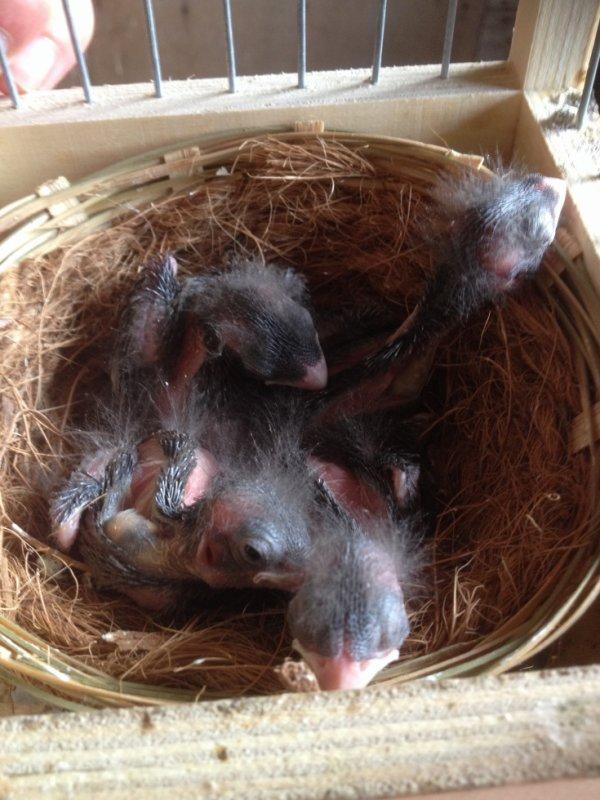 Nest met 4 jongen/ Nid avec 4 jeunes