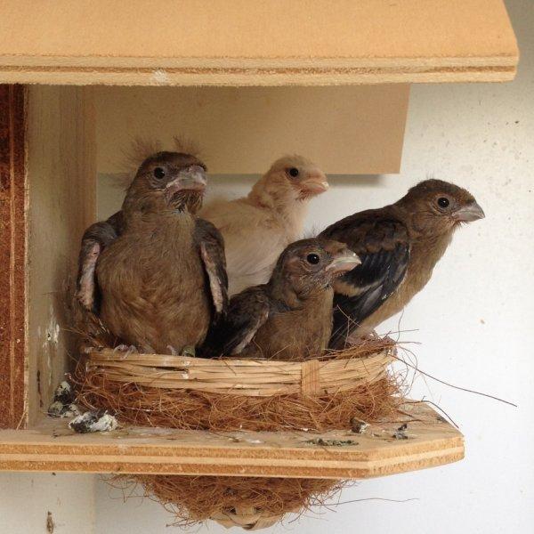 Nest met 4 jongen/ Nid avec 4 jeunes.
