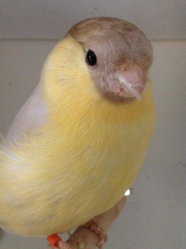 bruinpastelgeel man/ mâle Brun-Pastel gaune