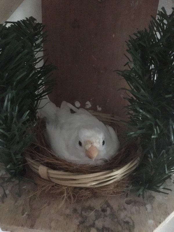 Witte goudvink op nest/ Bouvreuil blanc sur le nid