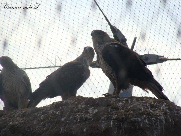 aigles  au Zoo