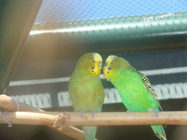 couple perruche