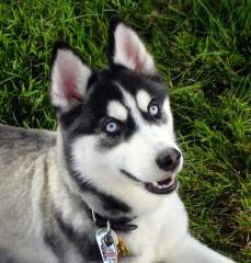 la plus belle race de chien qui existe