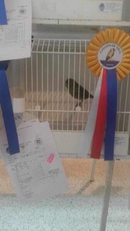 black yellou 93 points best bird in melanin