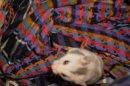 Photo de hamster-ix