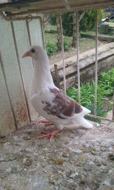 pigeonneau pour mr gautier