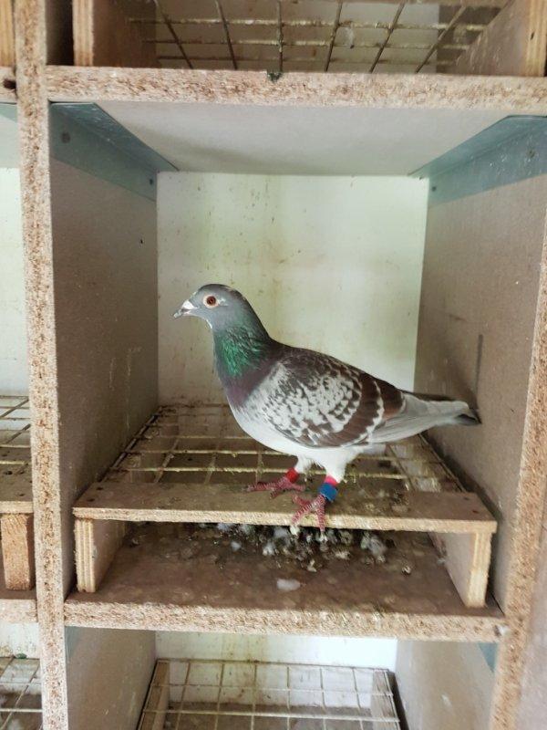 as pigeon federal 1 an 2 ieme region