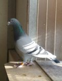 Photo de pigeons60