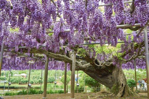 JAPON : plus bel arbre du monde dans le parc Ashikaga