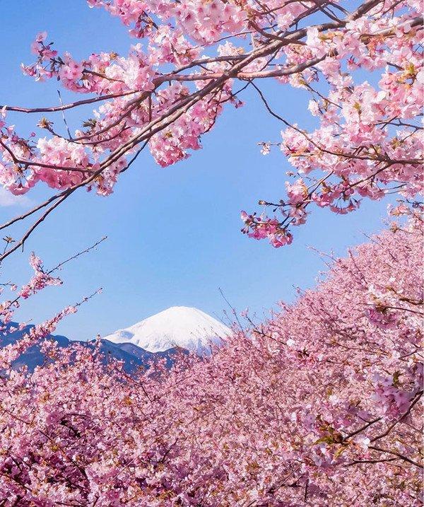 Japon : Les cerisiers sont déjà en fleurs !