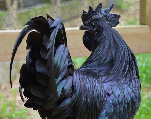 Le Ayam Cemani ... Rare poulet gothique d'Indonésie !