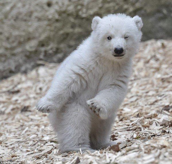 Ce petit ourson est la coqueluche du Web ...