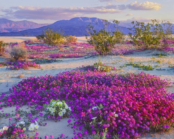 Fantastique paysage de fleurs dans le désert !