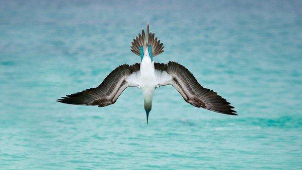 Fou à pieds bleus au large de l'île San Cristobal