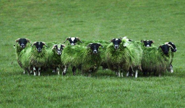 """Le mouton en Irlande est un peu un """"Symbole National"""""""