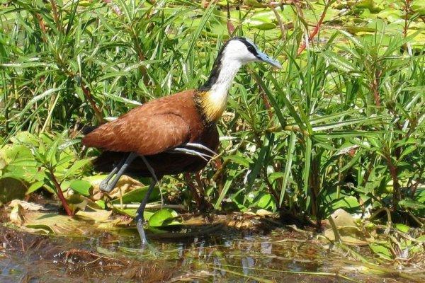 Poussin jacana à poitrine dorée, parc Chobe, Botswana !