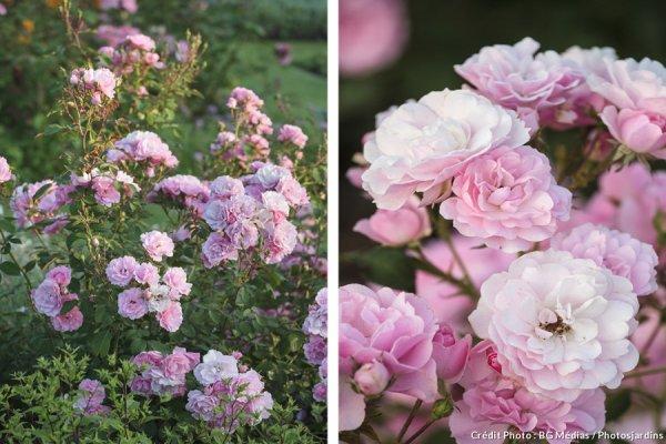 Bonica'' ... Le petit rosier froufroutant !