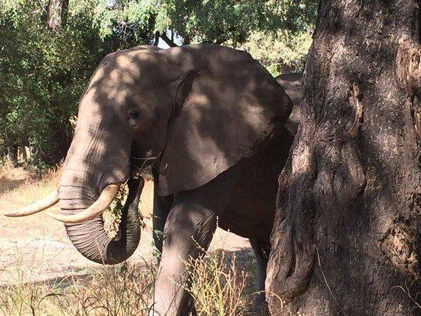 Un éléphant sauvé après l'agression des braconniers !