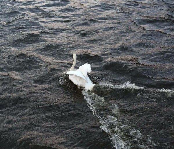 Il aide un cygne apeuré à rejoindre la rivière !