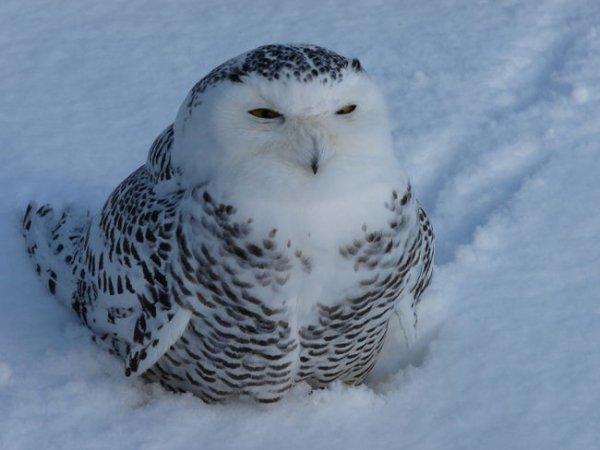 Le harfang des neiges ...