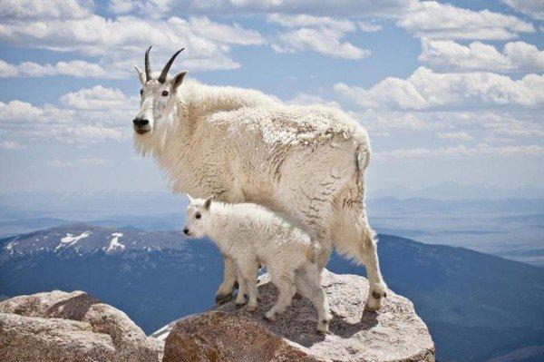 Montana (U.S.A) Chèvre des Montagnes rocheuses !