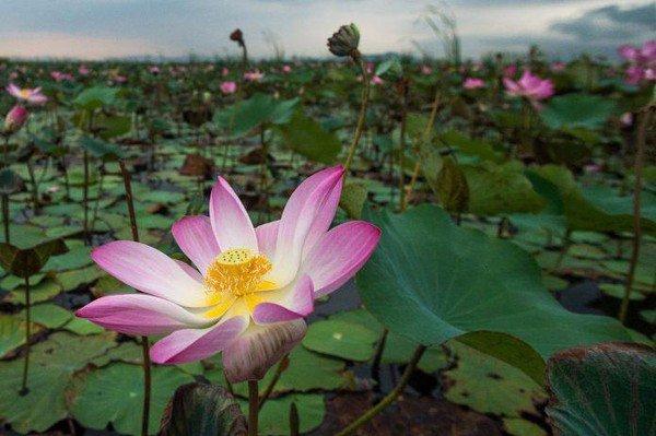 Thaïlande : des lotus sacrés ont fleuri dans un parc !