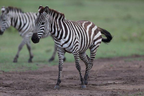 Etalon zèbre des plaines  : Afrique du Sud ...