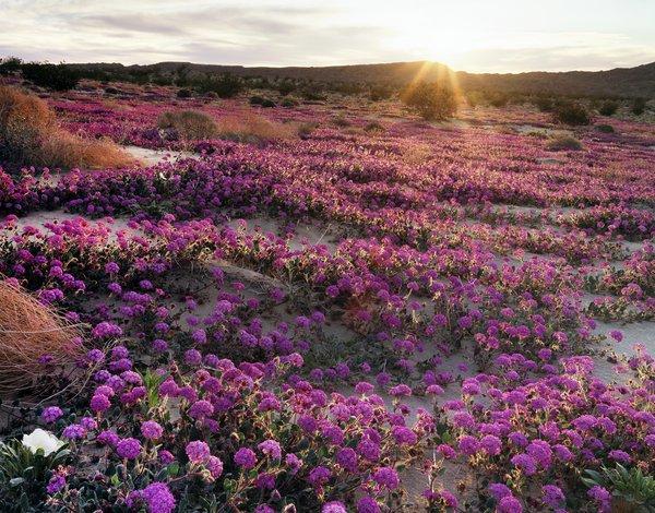 Millions de fleurs violettes dans le désert californien !