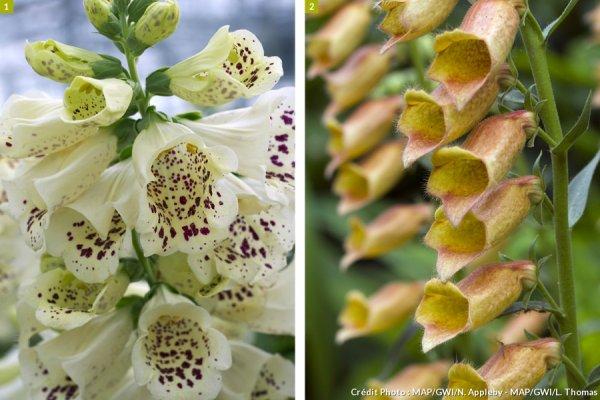 La digitale donne des fleurs tout l'été