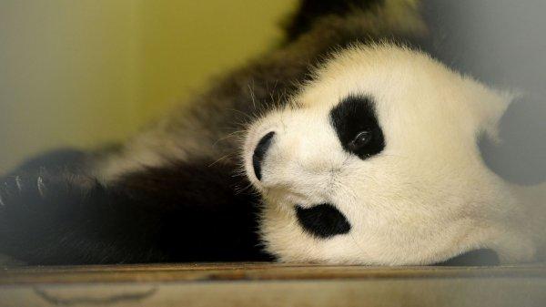 Les bébés pandas devraient naître dans la nuit de vendredi à samedi
