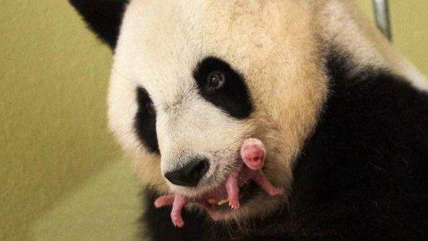 Zoo de Beauval : Le bébé panda va bien .