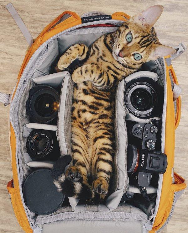 SUKI le chat du Bengale ... vous emmène en balade !
