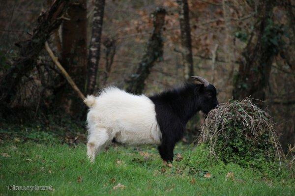 les chèvres des voisins sont parties se promener