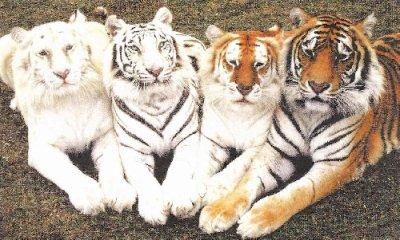 Le Tigre , Description Morphologique