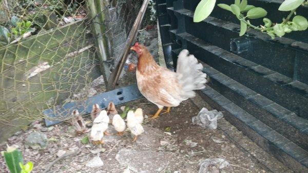 poule espagnol naissance du 13/03