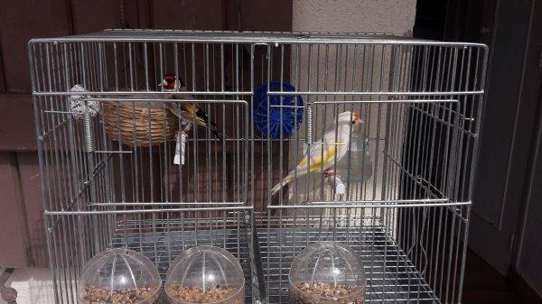 chardon femelle mutation et son male