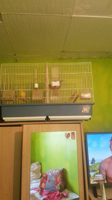 a vendre 1 chardon élevé main + 1 femelle mosaïque + 1 canari jaune + cage d'élevage à séparation 130 euros