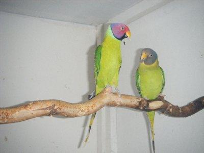 couple reproducteur de tête de prune