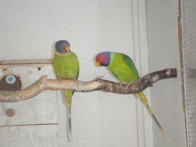 couple de tête de prune