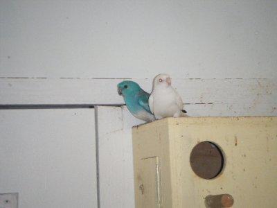 croupion rouge= male bleu/ino x femelle ino ( albinos )