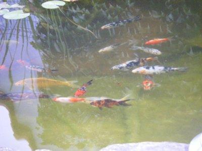 mon bassin avec mes carpe koi et mes poisson shubukin