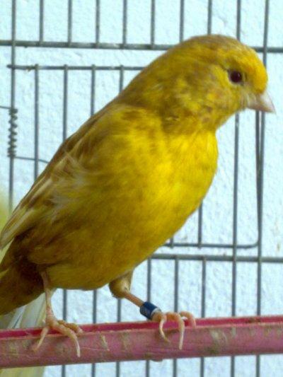 Male Phaeo jaune