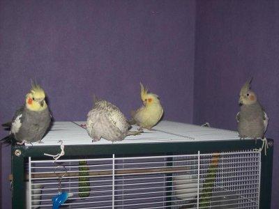 Kiwi, Maya, Punky et Dixie tous réunit sur le toit de la volière  ;-)