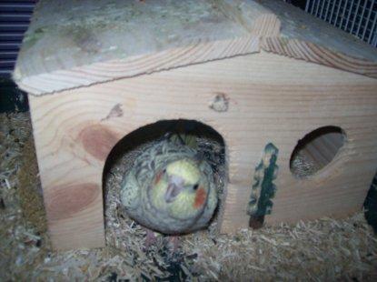 Kiwi et Maya trainent dans le nid, mais toujours pas d'oeuf... GGRRRR  !!!!
